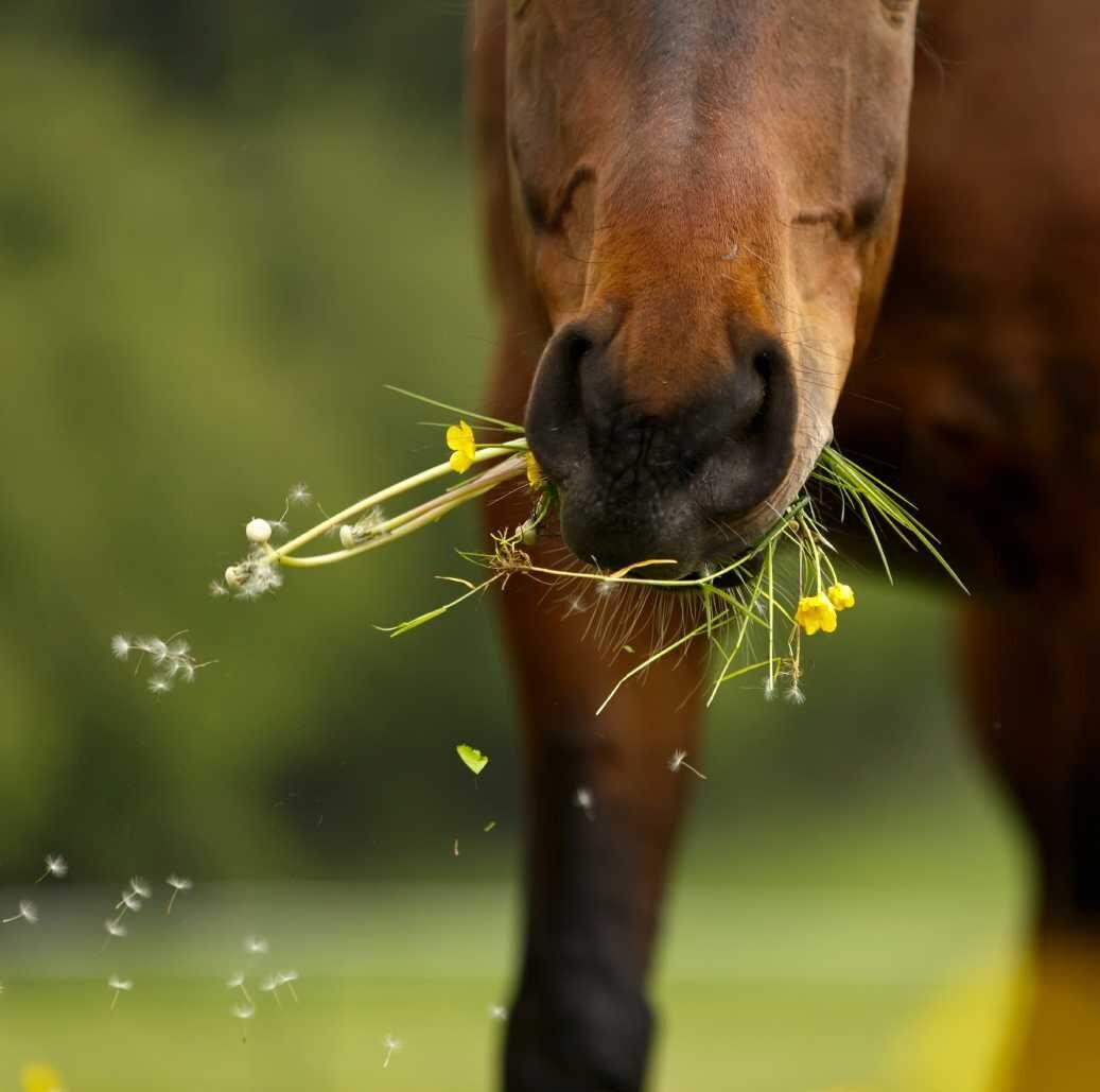 Pferd frisst Gras auf der Weide